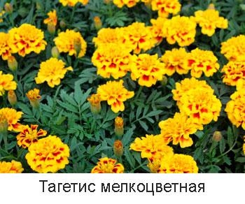 тагетис-мелкоцветная