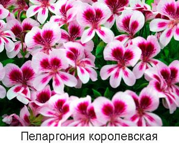 пеларгония-королевская
