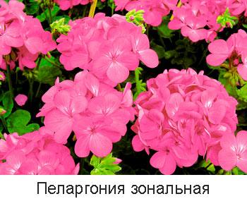 пеларгония-зональная