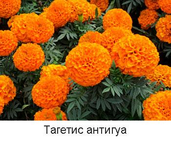 тагетис-антигуа