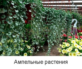 ампельные-растения